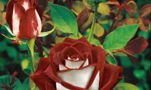 Бизнес идея — выращивание роз.