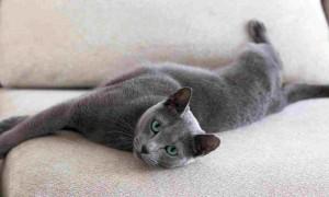 Кто такие русские голубые кошки?