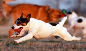 Что делать, если заворот кишок у собаки?