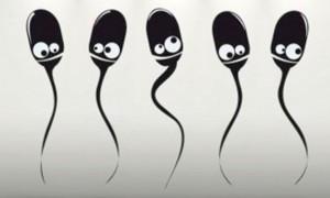 От чего зависит продолжительность жизни сперматозоидов?