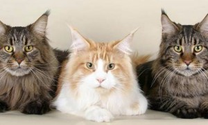 Сколько должен стоит котенок Мейн Кун?